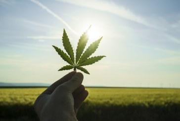 Coltivare cannabis non è più reato